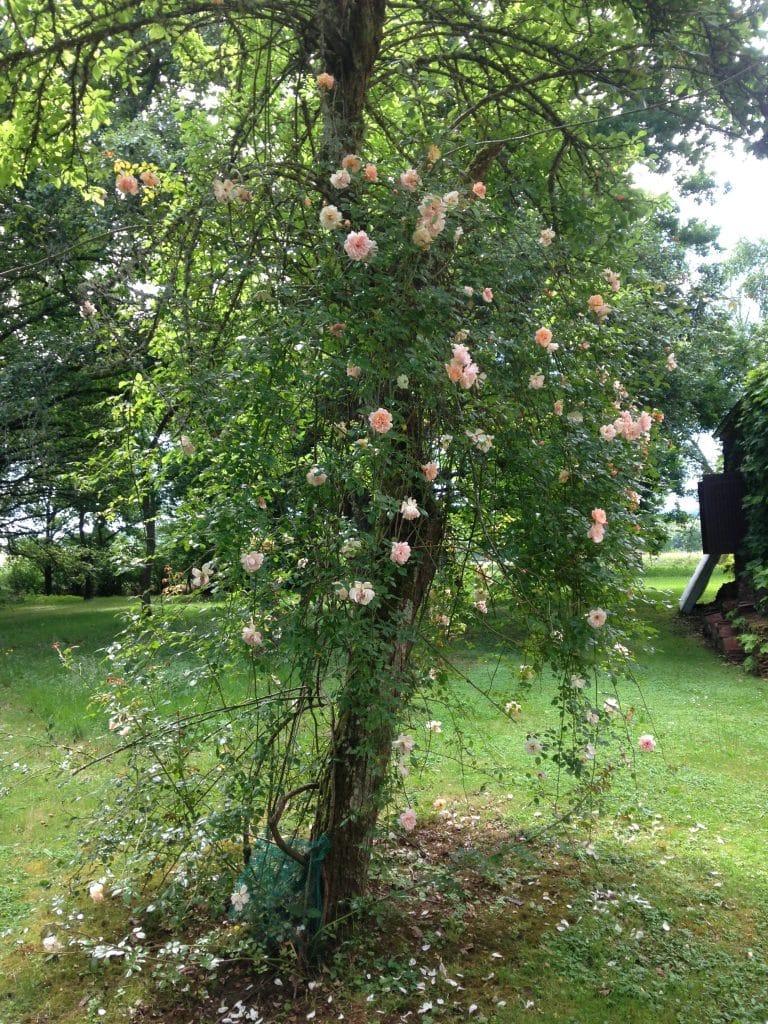 Un rosier grimpant dans un arbre
